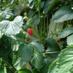 【イチゴ】みはる野いちご園