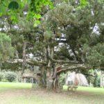 アブリ植物園 ガーナ