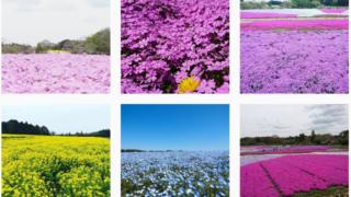 芝桜が見ごろ4月から 富田さとにわ耕園